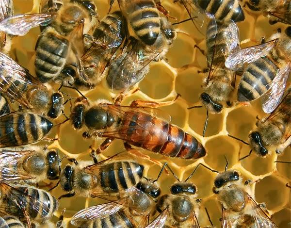 La colmena y sus abejas