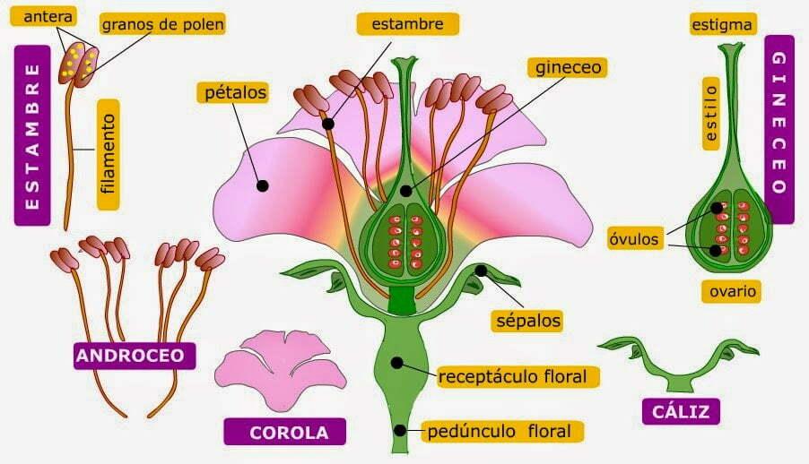 estambre,corola ,flor,partes,pistilo,polen,óvulos,