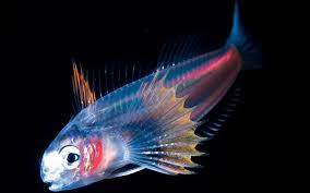 pez abisal abismal n