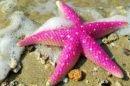 estrella-de-mar-rosa-600x450