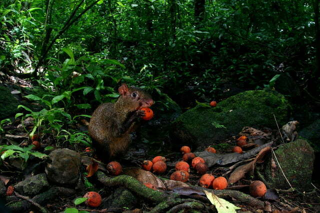 ziegler_agouti_with_seed