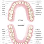 dientes-permanentes