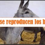 como se reproducen los burros