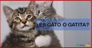 Como saber si un gato es hembra o macho cuando son bebes